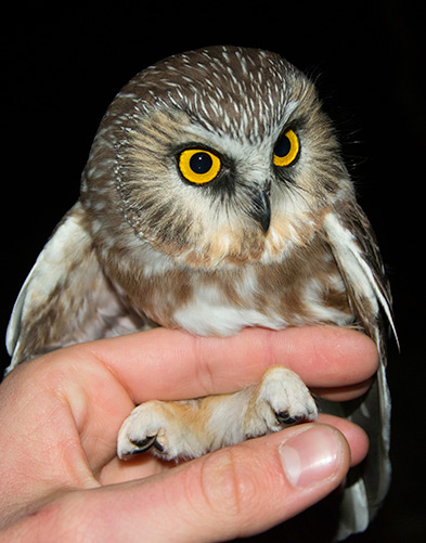 A female northern saw-whet owl