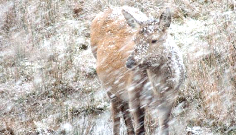 Deer outside in snow storm.