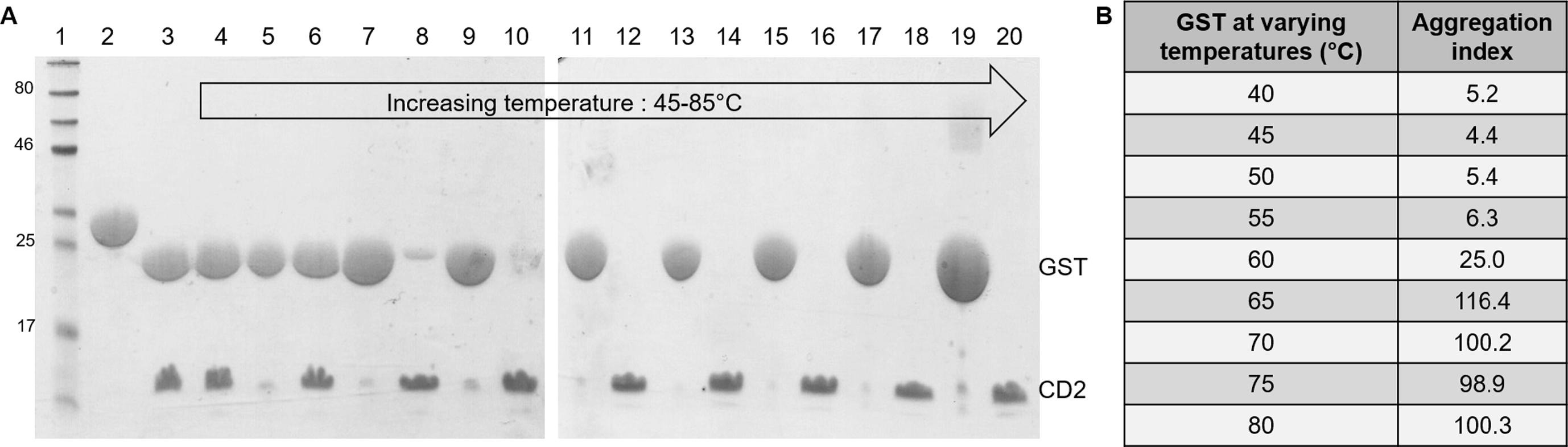 Fig. 2. A) SDS-PAGEs of heat treatment: lane-1 pre-stained protein marker, lane-2 GST-CD2, lane-3 cleaved GST CD2, lane-4 supernatant 45 °C, lane-5 pellet 50 °C, lane-6 supernatant 50 °C, lane-7 pellet 55 °C, lane-8 supernatant 55 °C, lane-9 pellet 60 °C, lane-10 supernatant 60 °C, lane-11 pellet 65 °C, lane-12 supernatant 65 °C, lane-13 pellet 70 °C, lane-14 supernatant 70 °C, lane-15 pellet 75 °C, lane-16 supernatant 75 °C, lane-17 pellet 80 °C, lane-18 supernatant 80 °C, lane-19 pellet 85 °C, lane-20 supernatant 85 °C. B) Absorbance of pure GST-tag monitored its aggregation index at temperatures ranging from 40 to 80 °C.
